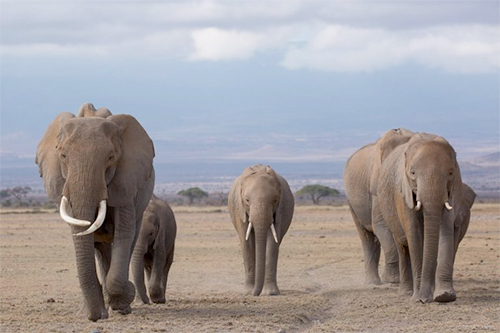 Calling the World to help save African Elephants