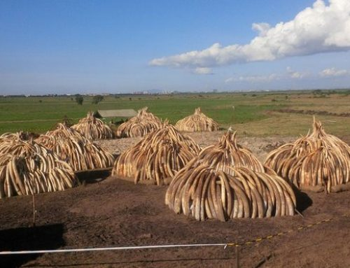 Call on Japan to Ban Ivory Trade