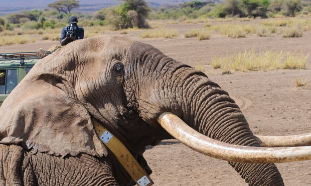 The Day We Collared Tim, the Great Tusker