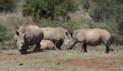Kenya loses eight black rhinos in a translocation exercise