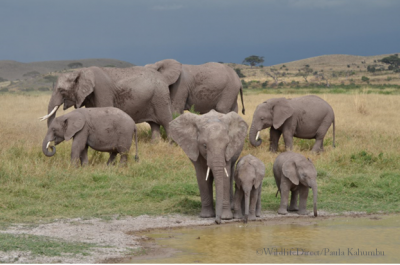 WildlifeDirect and Amarula go global for elephants