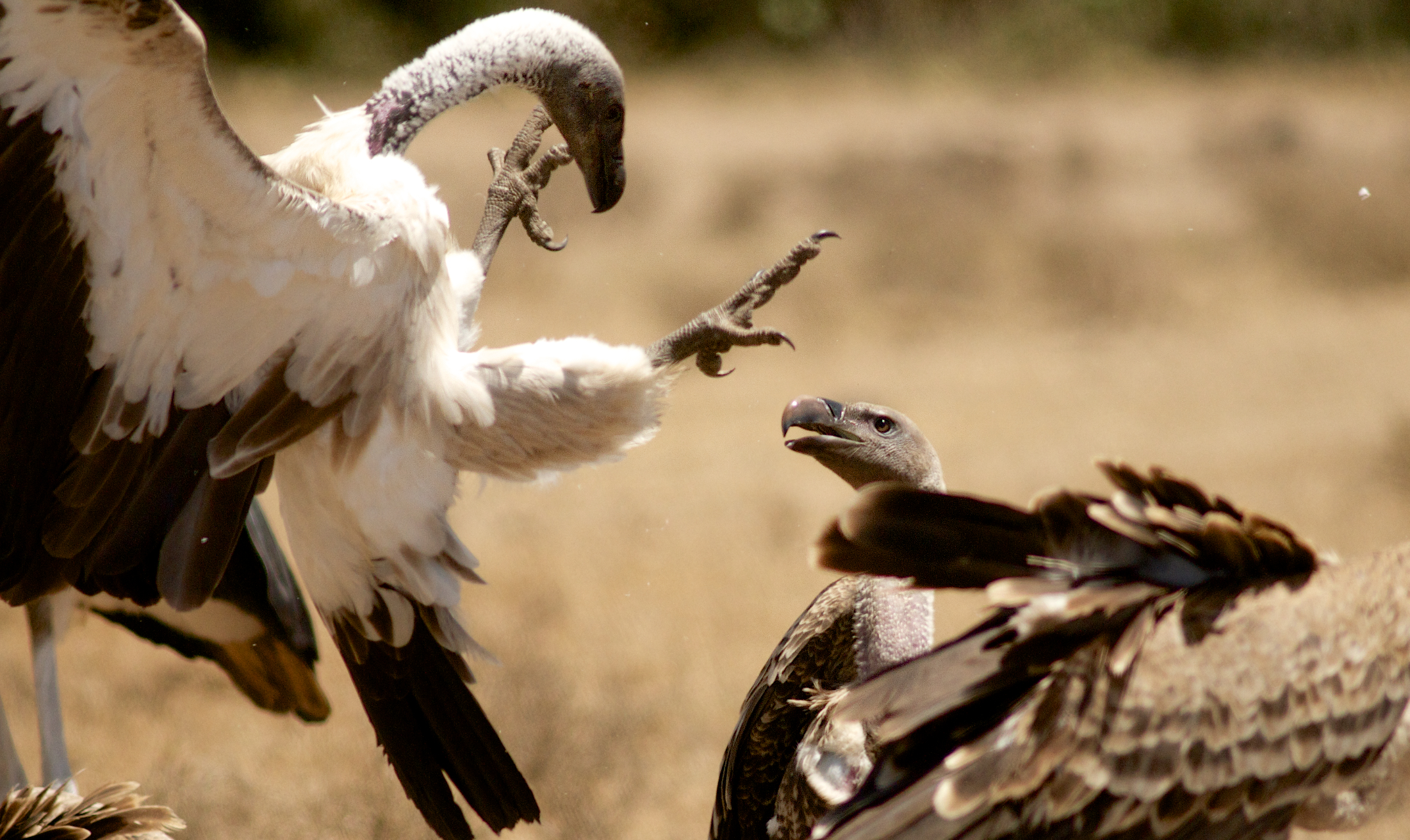 Fighting for Vultures at hell's Gate National Park