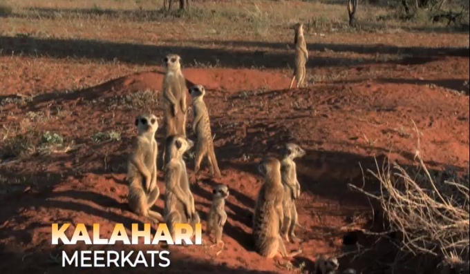 The Kalahari Meerkats premiers on Kenyan TV
