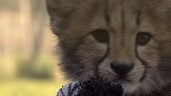 Following the lives of Cheetahs on Cheetah Diaries